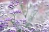Moods that take me... (jewelflyt) Tags: white flower macro nature lyrics purple bokeh theframes everlasting redbubble hpps fallingslowly perfectpurplesaturday