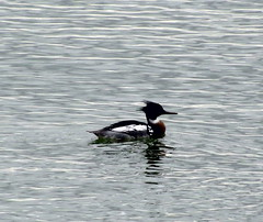 Red Breasted Merganser (Mostly Dans) Tags: duck diving southend redbreasted merganser