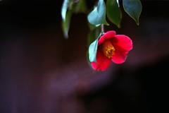 (cocoaloco) Tags: flower t 50mm nikon kodak f14 portra400nc f3 planar carlzeiss planart50f14