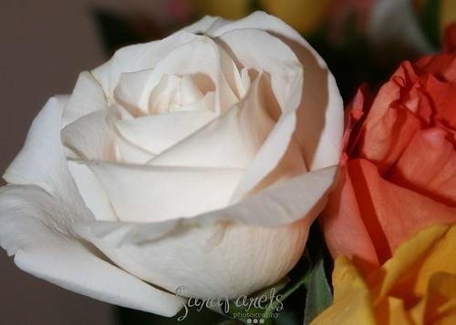 Valentine's Roses