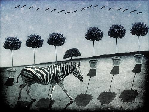 Zebra field birds done222 SMALL