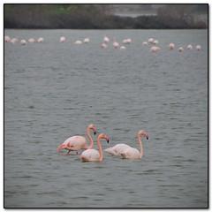 The 3 Flamingos Amigos (Mike G. K.) Tags: lake swimming fishing view zoom eating cyprus flamingos saltlake larnaca larnaka aliki 18200mm  nikond5000