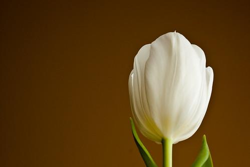 51.  Tulip