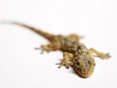 Drag (Vicnaba) Tags: macro olympus 55mm mf gecko lagartija sargantana f40 salamanquesa geco drag smalllizard gekkonidae cuija yashicaml e620