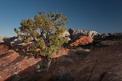 Snowcanyon Tree (JimSpeth) Tags: morning tree utah southernutah redrock snowcanyon