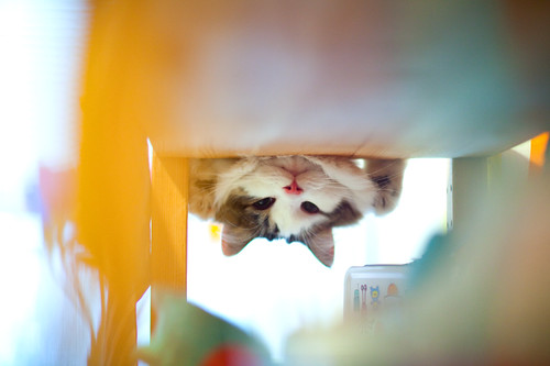 peek-a-moo
