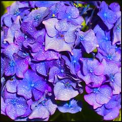 Hortensias (Pilar Azaña Talán ) Tags: flowers españa flores color colour asturias hortensias colombres hortênsias ramilletes mywinners abigfave 100commentgroup florescelestes pilarazaña