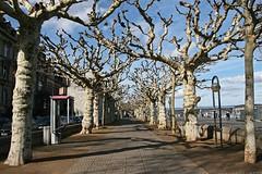 How Bizarre (Poet for Life) Tags: blue trees sky sycamore promenade stark rhine mainz bizarre sycamoretree