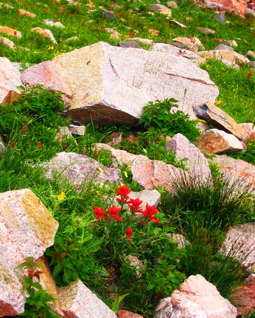 Indian paintbrush grows on a rocky slope in northern Colorado.