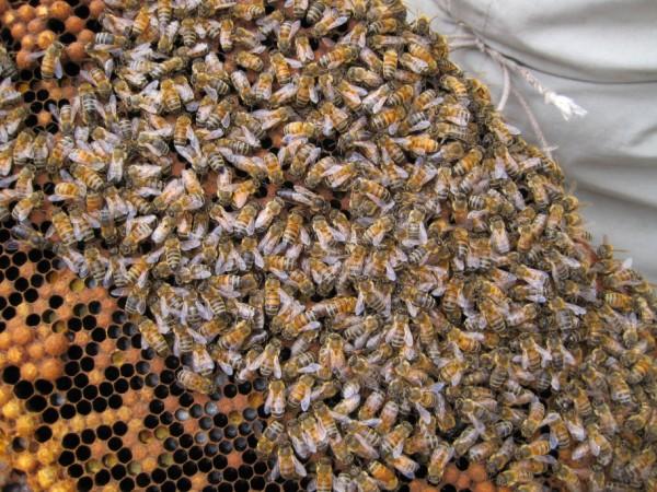 beekeeping 048 (600 x 450)