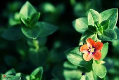 Beetle & Flower (Mohammad Reza Hassani) Tags: red flower green net leaf beetle گل برگ تارعنکبوت سوسک