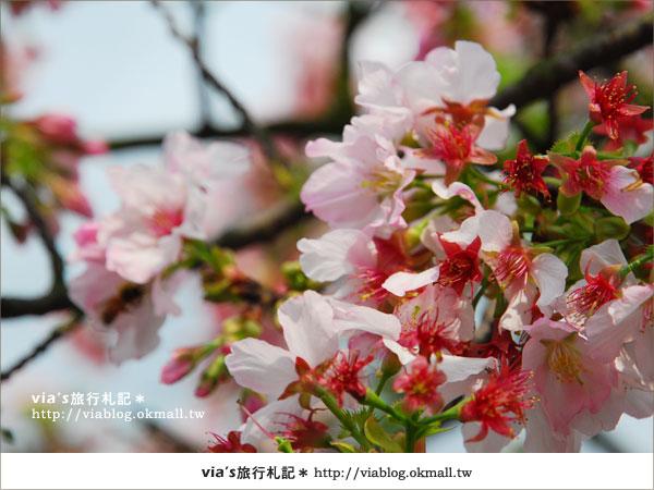 【淡水天元宮櫻花】跟著via賞花趣~天元宮櫻花最新花況5