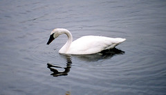 One of the swans on the Madison River.
