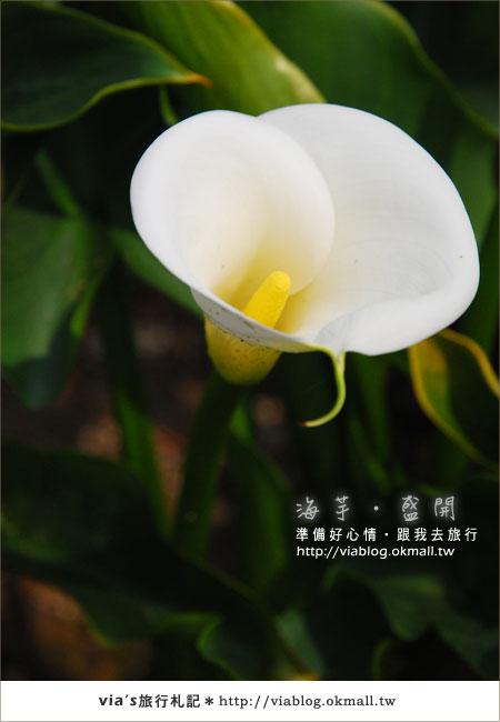 【2010竹子湖海芋季】陽明山竹子湖海芋季~海芋盛開囉!24