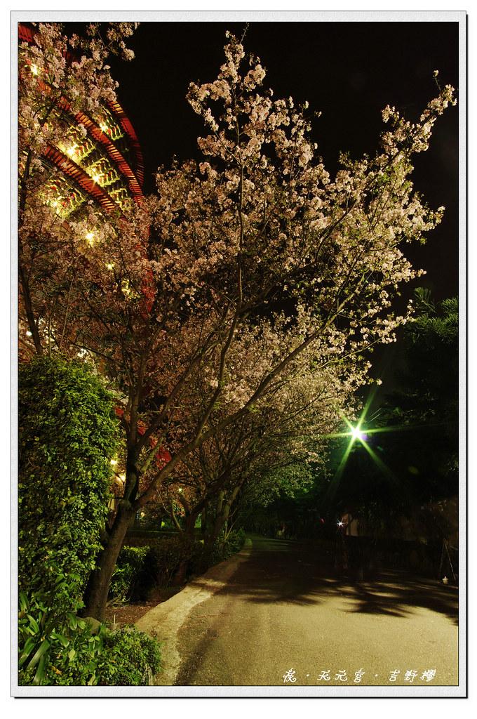 3/14 夜.天元宮.吉野櫻~  K-x 首次夜拍