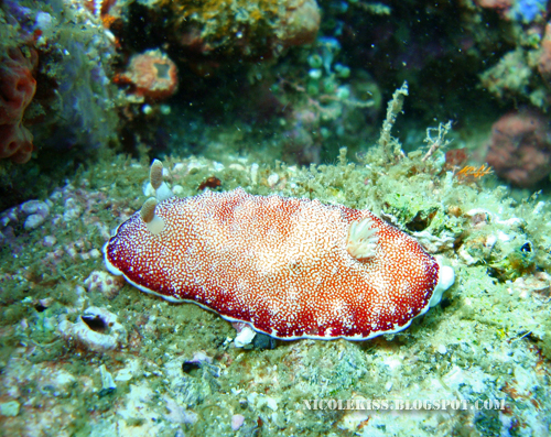 fat nudibranch 2