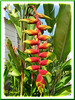 Heliconia rostrata (Hanging Heliconia, Lobster Claw, False-bird-of-paradise)