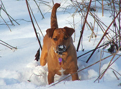 Honey352 (Plbmak) Tags: winter dog pet snow cute puppy jack mutt fuzzy russel honey jackrussel patterdale