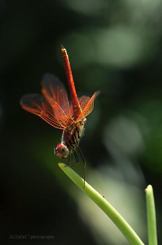 a male urothemis signata -褐基蜻蜓