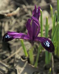 tiny iris flower (wplynn) Tags: iris flower spring raw arboretum bloom uofi