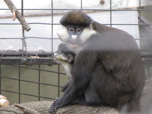 Guenon Baby and Mom