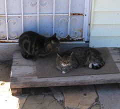 Paul and Beck, wanting inside (Hairlover) Tags: pet cats pets public cat kitten kitty kittens kitties threeleggedcat hairlover allcatsnopeople 21yearoldcat
