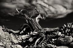 Reaching Up (Nick.Coombs) Tags: sky bw white black tree clouds canon dark dead chalk spooky 5d crawling 1740 dover hmmmmmmmmmmmmmmmmmm
