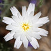 Desert Chicory in Anza Borrego Desert.