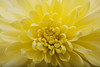 (087/365) Yellow flower macro (Pat O'Brien Photo) Tags: flower macro up yellow close extensiontube extrememacro project365 087365 canon5dmarkii obrienstudioscom 2010yip project36612010 march282010