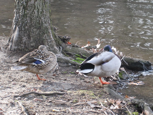 snoozing ducks, pair 2