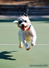 Leaps and Bounds... (Luke-rative) Tags: hairy dog cute smile tongue puppy happy nikon little air ground canine running celebration poodle views hanging bichon 5000 airborne photostream shutterspeed d60 hangtime 5000views lukereynolds httplukereynoldstumblrcom wwwlukereynoldstumblrcom