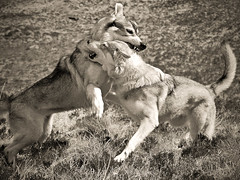 Utonagan play fight (Oldsch00l) Tags: dogs wolf dogfight wolves utonagan