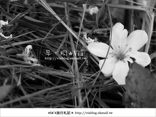 【2010桐花祭】桐花最新情報*彰化挑水古道油桐花18