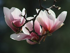 Magnolia Blossoms (donsutherland1) Tags: flowers friends ny newyork nature spring ngc blossoms bloom april magnolia 1001nights mamaroneck masterphotos flickrestrellas awesomeblossoms saariysqualitypictures magicunicornverybest 1001nightsmagiccity mygearandmepremium mygearandmebronze beautiflower