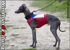 Italian Greyhounds from Czech Republic