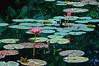 The Pond (DigitalLUX) Tags: pink flower green water pond agua waterlily florida miami flor waterlilies tropical estanque southflorida nenúfar nenúfares supershot anawesomeshot aplusphoto