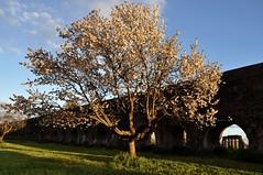 a spring day in the parc (Donna di Fiori ) Tags: rome tree primavera spring blossom albero archeology acqueduct pasquetta archeologia acquedotto blueribbonwinner fioritura parcodegliacquedotti luneddellangelo acquedottoclaudio acquedottofelice