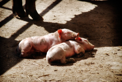 Pigs-3