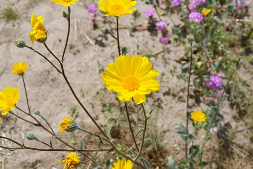 wildflowers at Anza-Borrego Desert State Park 0055