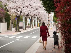 Sakura (drichi2006) Tags: japan tokyo blog spring nikon seasons   sakura cherryblossoms  denenchofu  d300