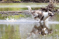ooh yeah, I'm a wild one (toxeh) Tags: wild freedom crazy frolic tail whiteriver wee waterfun wetdog shallows downbytheriver zoomies