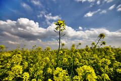 [フリー画像] 花・植物, 花畑, 菜の花, 田畑, 春, イエローフラワー, スペイン, 201004020700