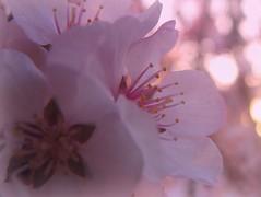 Spring's Offerings (Nature_Deb) Tags: pink flowers light macro tree nature floral closeup fruit evening spring blossom bokeh stamen buds theperfectpinkdiamond