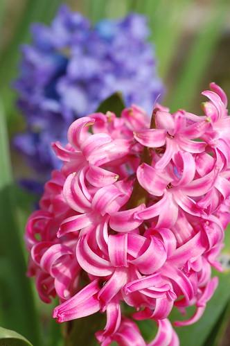 Hyacinths - 3
