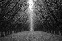 These Trees Can Hear and See (Sebastian B-B) Tags: trees blackandwhite monochrome oregon filberts hazelnuts treetunnel woodenshoetulipfestival treegrove 135mmf2l 5dmarkii magicprime
