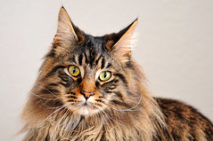 Race Maine Coon
