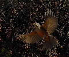 Sabi-laranjeira - Rufous-bellied Thrush 6130_1340 (zafonso) Tags: flowers brazil flores nature birds animals brasil landscapes natureza aves animais paisagens urbans urbanos nikond300 sigma150500mmos