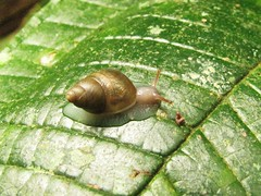 Unidentified Snail VI by Bigal River Conservation Project