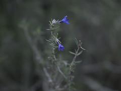 (rubioz) Tags: blue mountain flower azul 50mm raw flor spiderweb olympus processing monte lightroom teladearaña e510 uro