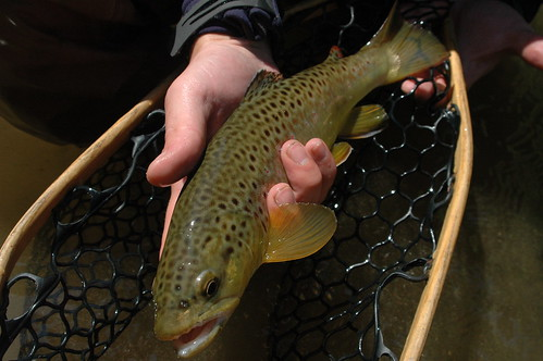 13 Inch Wild Brown Trout